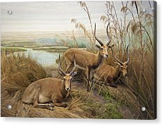 Antelope In The Grass Near The River Acrylic Print by Laura Ciapponi