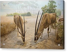 Antelope In The Sand With Their Heads Acrylic Print by Laura Ciapponi