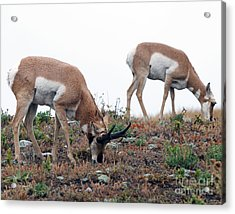 Acrylic Print featuring the photograph Antelopes Grazing by Art Whitton