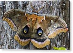 Antheraea Polyphemus Polyphemus Moth  Acrylic Print
