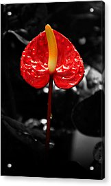Anthurium Rising Acrylic Print by Jacqui Collett