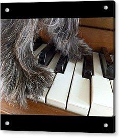 Anyone Can Play Piano. 🐶😊🎶 Acrylic Print