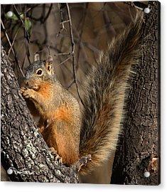 Apache Fox Squirrel Acrylic Print by David Salter