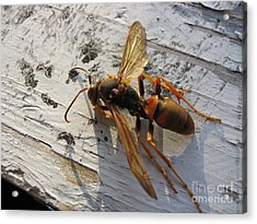 Apache Red Wasp Acrylic Print by Mark Robbins