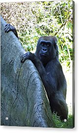 Ape Acrylic Print by Ralph Jones