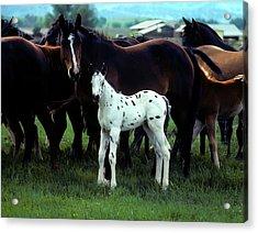 Appaloosa Foal White Spotted Acrylic Print by John Brink