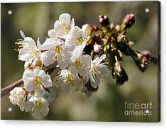 Apple Blossom II Acrylic Print