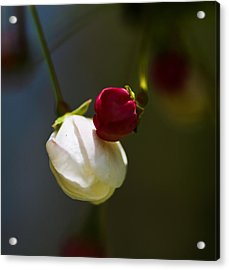 Apple Blossom Time Acrylic Print by Mitch Shindelbower