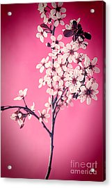 Apple Blossoms Acrylic Print by HD Connelly