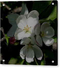 Acrylic Print featuring the photograph Apple Blossoms by Karen Harrison
