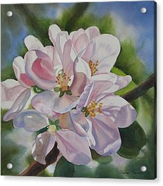 Apple Blossoms Acrylic Print by Sharon Freeman
