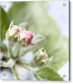 Apple Tree Blossom Acrylic Print by Agnieszka Kubica