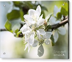 Apple Tree Flowers Acrylic Print by Agnieszka Kubica