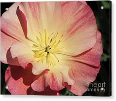 Acrylic Print featuring the photograph Appleblossom California Poppy by Michele Penner