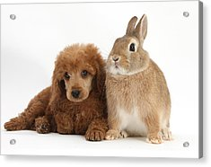Apricot Miniature Poodle Pup With Rabbit Acrylic Print by Mark Taylor