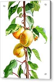 Apricots Acrylic Print by Irina Sztukowski