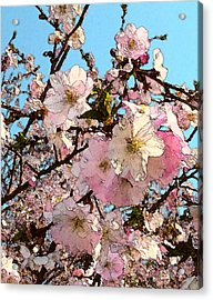 April Morning With Cherry Blossoms Acrylic Print