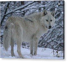 Arctic Wolf In Snowstorm Acrylic Print