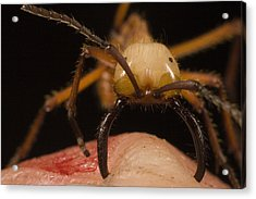 Army Ant Eciton Biting Finger Acrylic Print by Mark Moffett