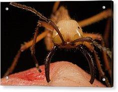 Army Ant Eciton Hamatum Major Worker Acrylic Print by Mark Moffett