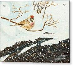 Artic Redpoll Acrylic Print