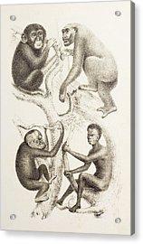 Artwork Of Four Apes, 1874 Acrylic Print by Mehau Kulyk
