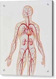 Artwork Of Human Arterial System Acrylic Print by John Bavosi