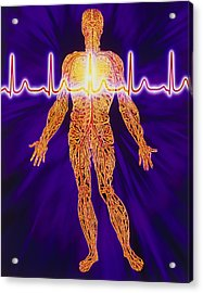 Artwork Of Human Venous System And Ecg Heart Trace Acrylic Print by Mehau Kulyk