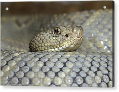Aruba Rattlesnake Crotalus Unicolor Acrylic Print by Gerry Ellis