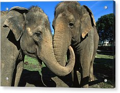 Asian Elephant Elephas Maximus Pair Acrylic Print by Zssd