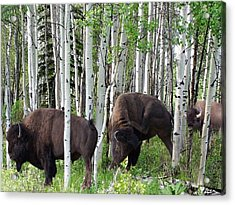 Aspen Bison Acrylic Print by Bill Stephens