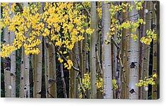 Aspen Gold Acrylic Print by Adam Pender