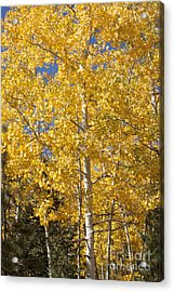 Acrylic Print featuring the photograph Aspen Gold by Marta Alfred