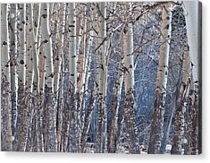 Acrylic Print featuring the photograph Aspen Grove by Colleen Coccia