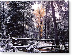 Aspen In Snow Acrylic Print by Barry Shaffer