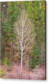 Aspen Tree Forest Road 249 Acrylic Print