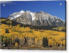 Aspen Trees In Autumn, Rocky Mountains Acrylic Print by David Ponton