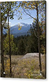 Aspens Around Pikes Peak Acrylic Print by Marta Alfred