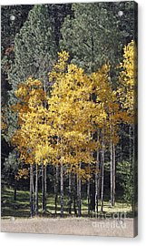 Aspens In Color Acrylic Print
