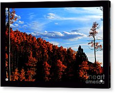 Aspens In Sunset Light Acrylic Print by Susanne Still