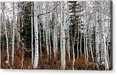 Aspens Acrylic Print by Robert Bales