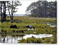 Assateague Wild Horses Feeding Acrylic Print