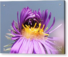 Asters Starting To Bloom Close-up Acrylic Print by Robert E Alter Reflections of Infinity