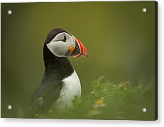 Atlantic Puffin Acrylic Print by Andy Astbury