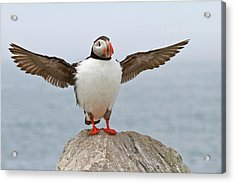 Atlantic Puffin Acrylic Print by Image by Michael Rickard