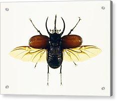 Atlas Beetle Acrylic Print by Lawrence Lawry