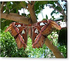 Atlas Moth Acrylic Print by Wendy McKennon