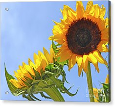August Sunshine Acrylic Print