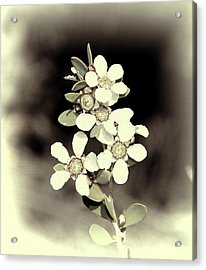 Australian Coastal Wildflowers Acrylic Print