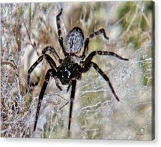 Australian Spider Badumna Longinqua Acrylic Print